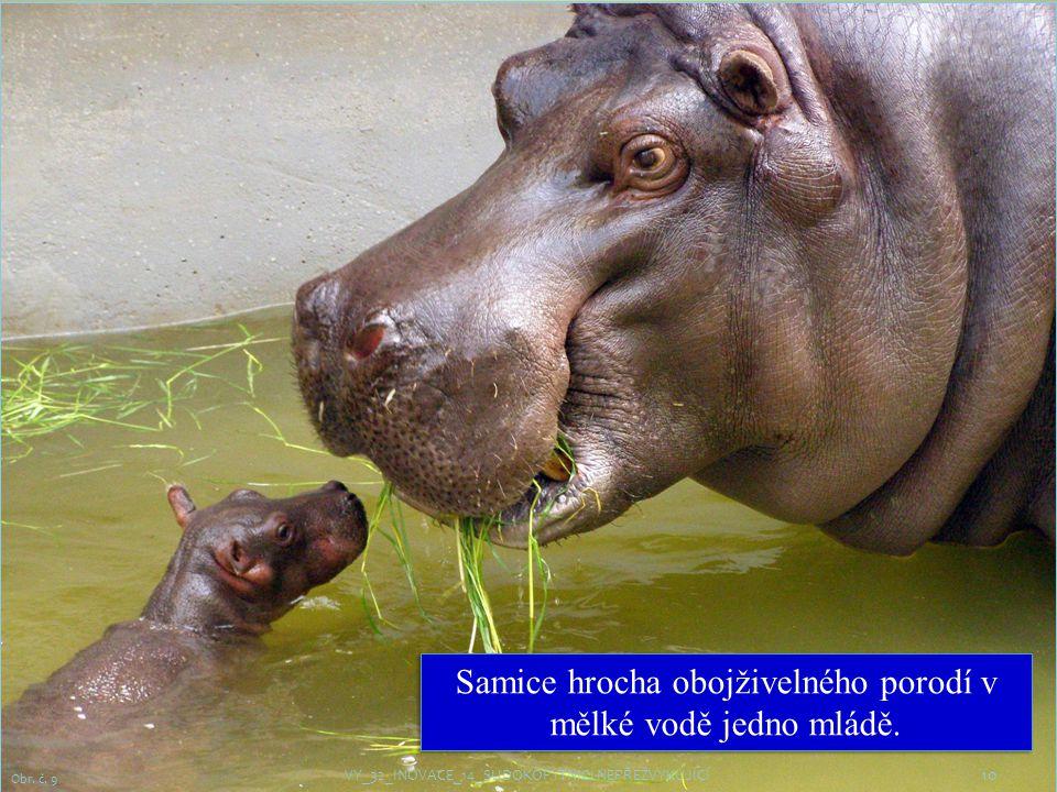 Samice hrocha obojživelného porodí v mělké vodě jedno mládě.