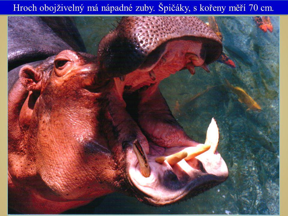 Hroch obojživelný má nápadné zuby. Špičáky, s kořeny měří 70 cm.