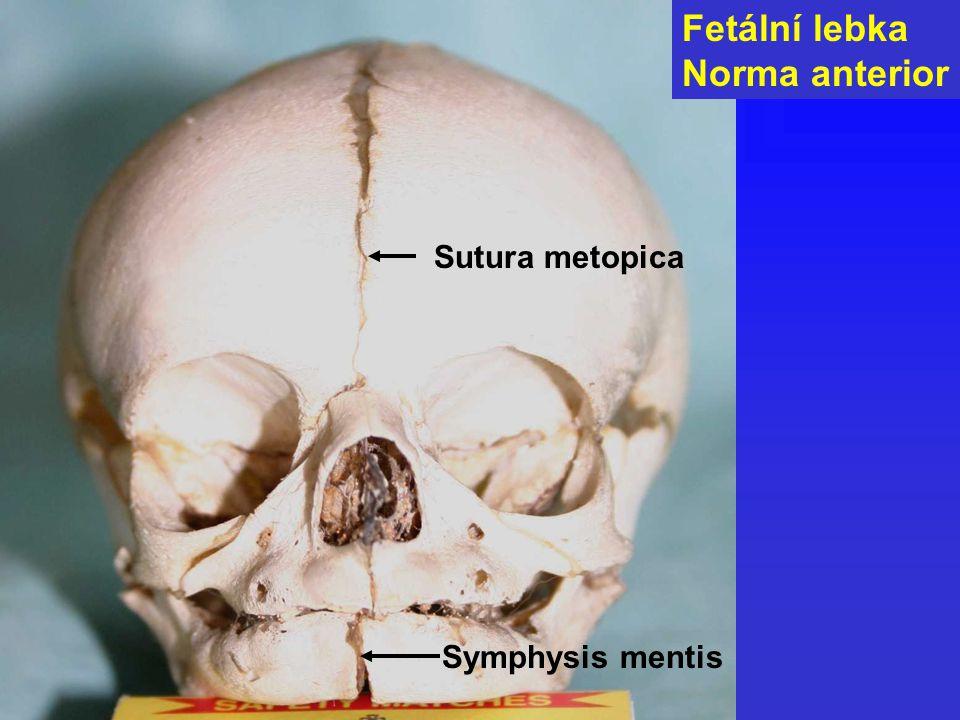 Fetální lebka Norma anterior Sutura metopica Symphysis mentis