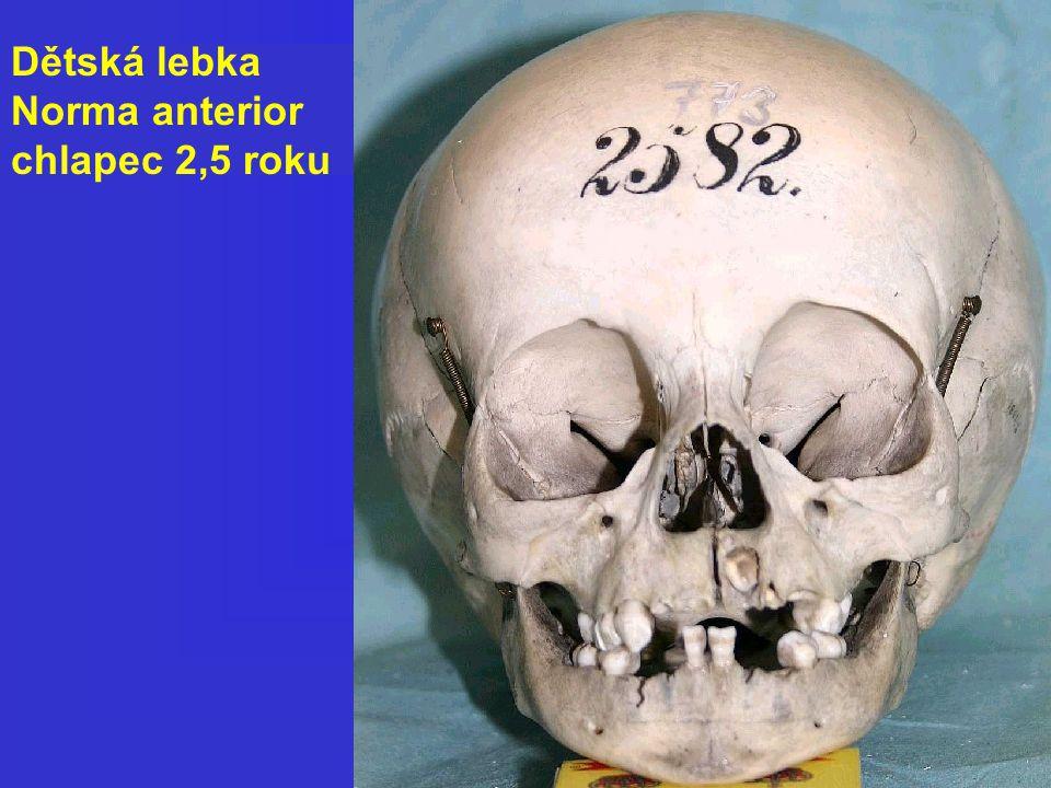 Dětská lebka Norma anterior chlapec 2,5 roku