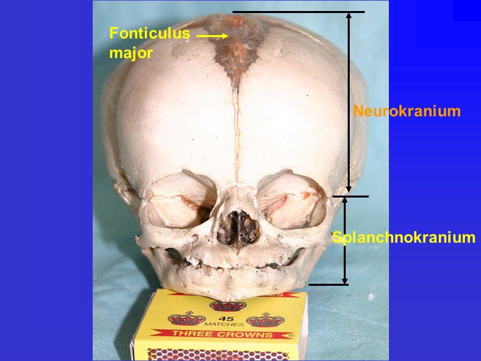 Fonticulus major Neurokranium Splanchnokranium