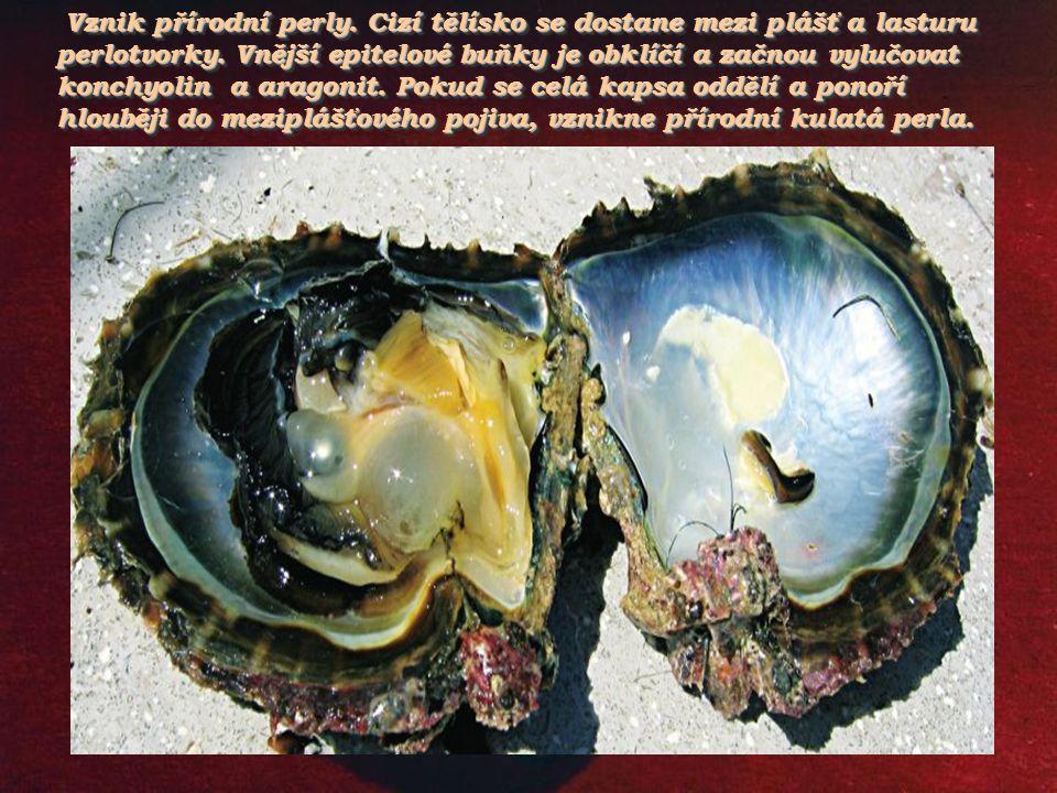 Vznik přírodní perly. Cizí tělísko se dostane mezi plášť a lasturu perlotvorky.