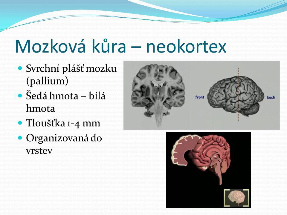 Mozková kůra – neokortex