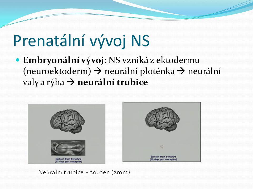 Prenatální vývoj NS Embryonální vývoj: NS vzniká z ektodermu (neuroektoderm)  neurální ploténka  neurální valy a rýha  neurální trubice.