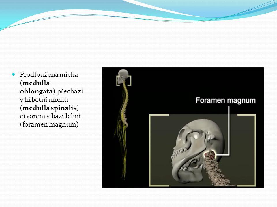 Prodloužená mícha (medulla oblongata) přechází v hřbetní míchu (medulla spinalis) otvorem v bazi lební (foramen magnum)