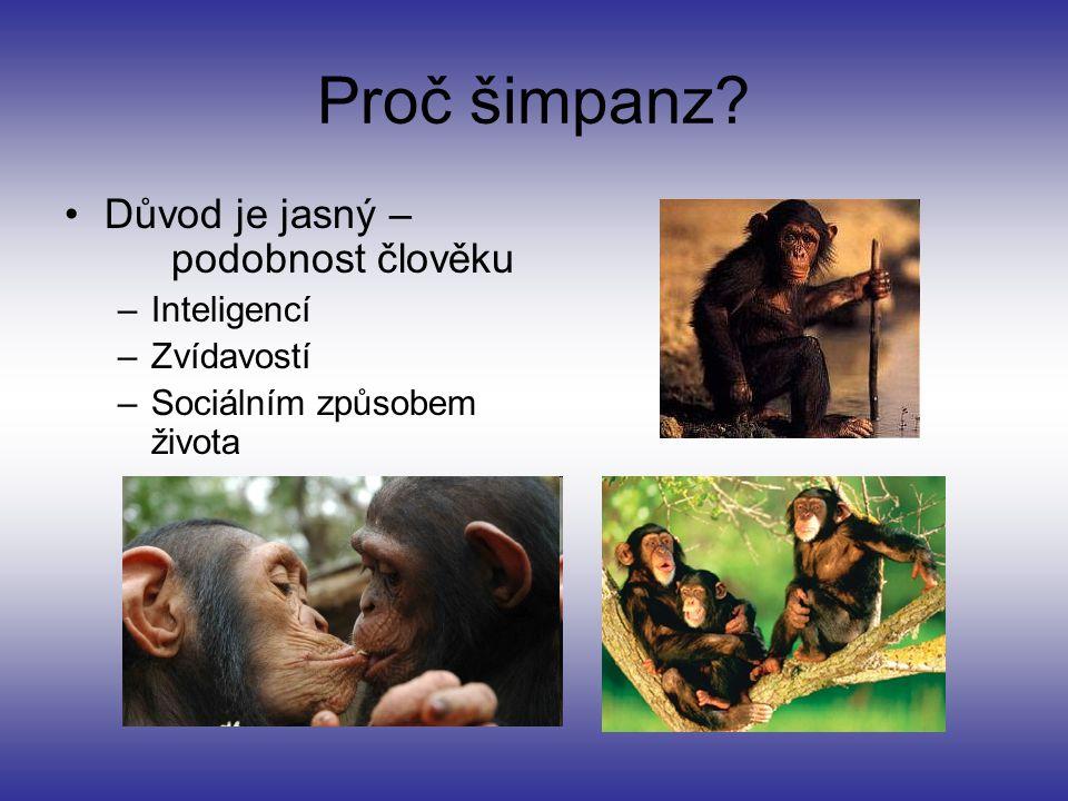 Proč šimpanz Důvod je jasný – podobnost člověku Inteligencí
