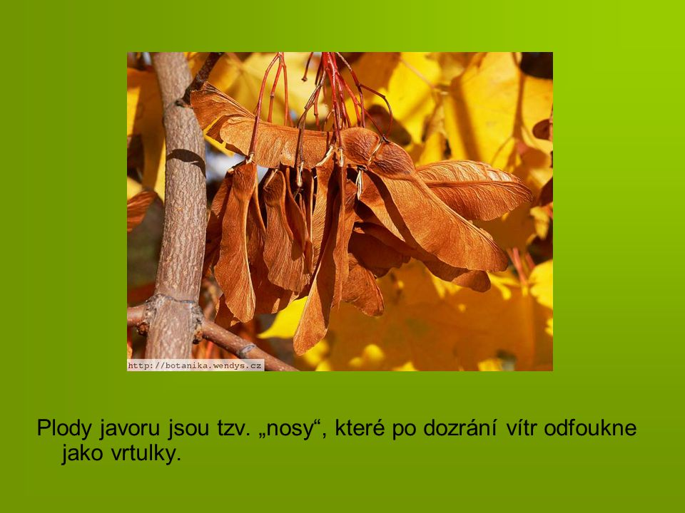 """Plody javoru jsou tzv. """"nosy , které po dozrání vítr odfoukne jako vrtulky."""