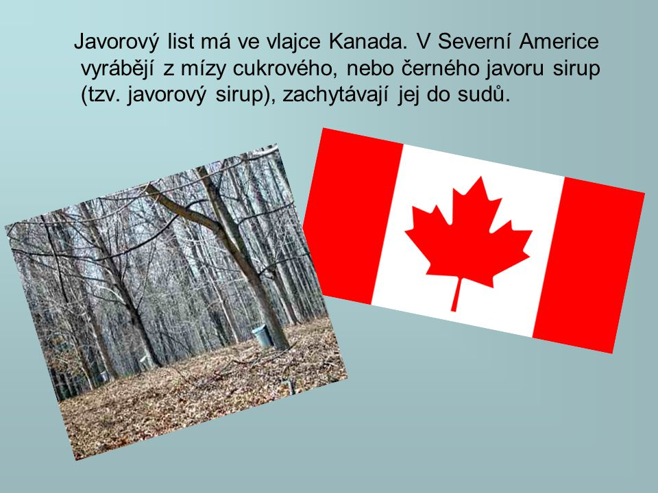 Javorový list má ve vlajce Kanada