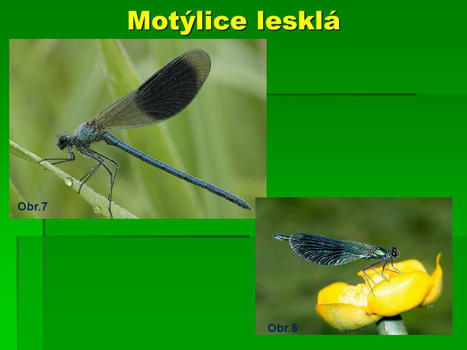 Motýlice lesklá Obr.7 Obr.8