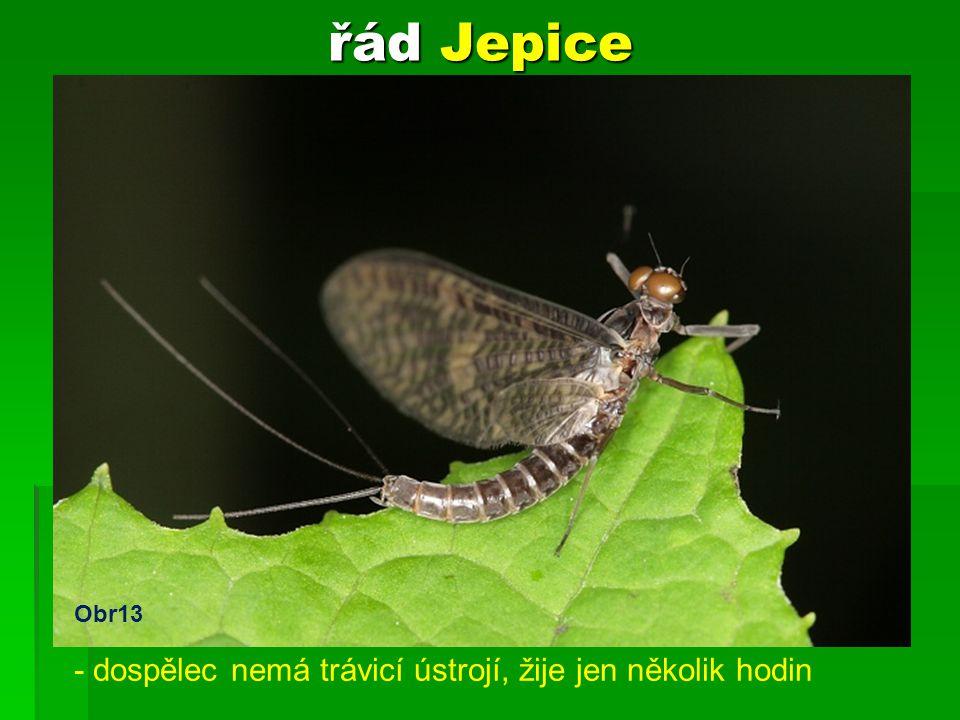 řád Jepice - larva žije ve vodě 3 roky