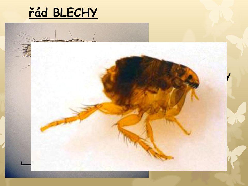 řád BLECHY bezkřídlý cizopasný hmyz bodavě sací ústní ústrojí