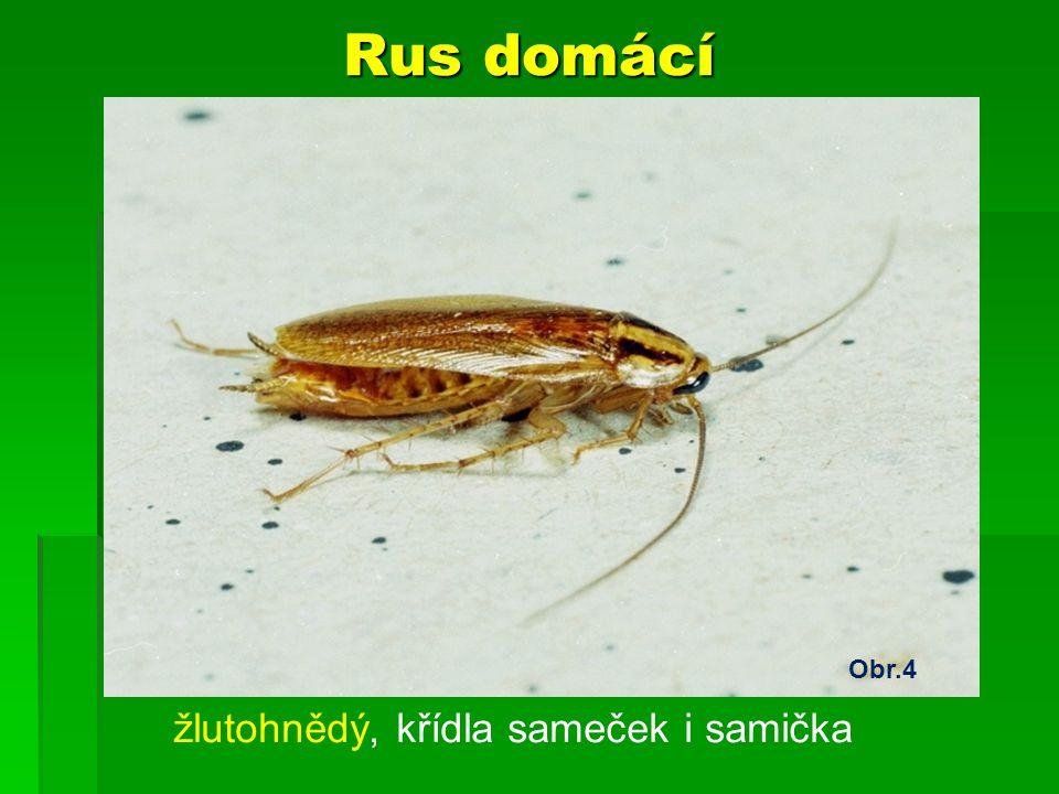 Rus domácí Obr.4 žlutohnědý, křídla sameček i samička