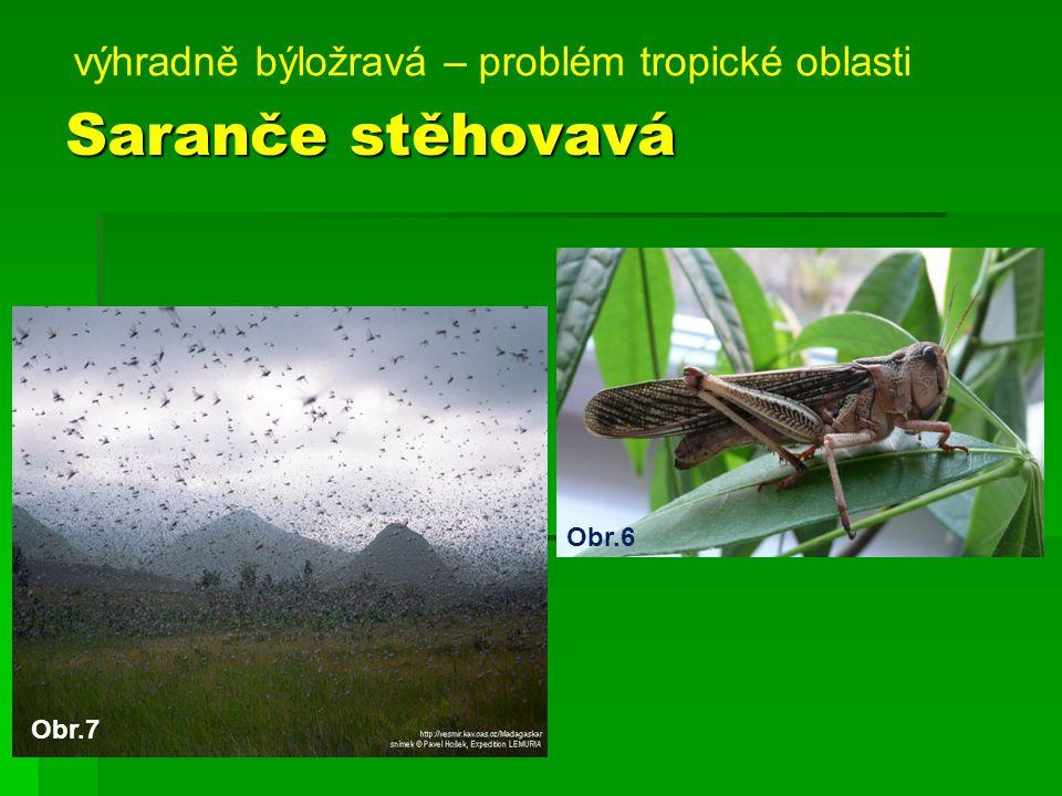 Saranče stěhovavá výhradně býložravá – problém tropické oblasti Obr.6