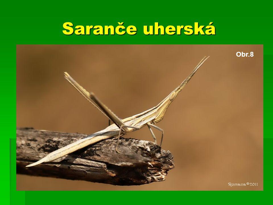 Saranče uherská Obr.8