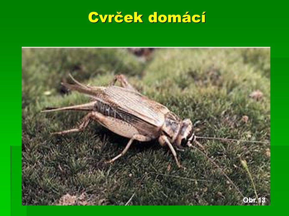 Cvrček domácí Obr.13