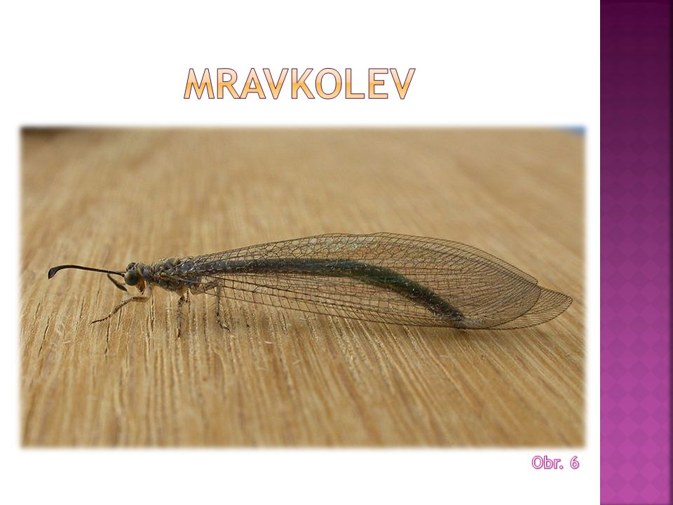Mravkolev Obr. 6
