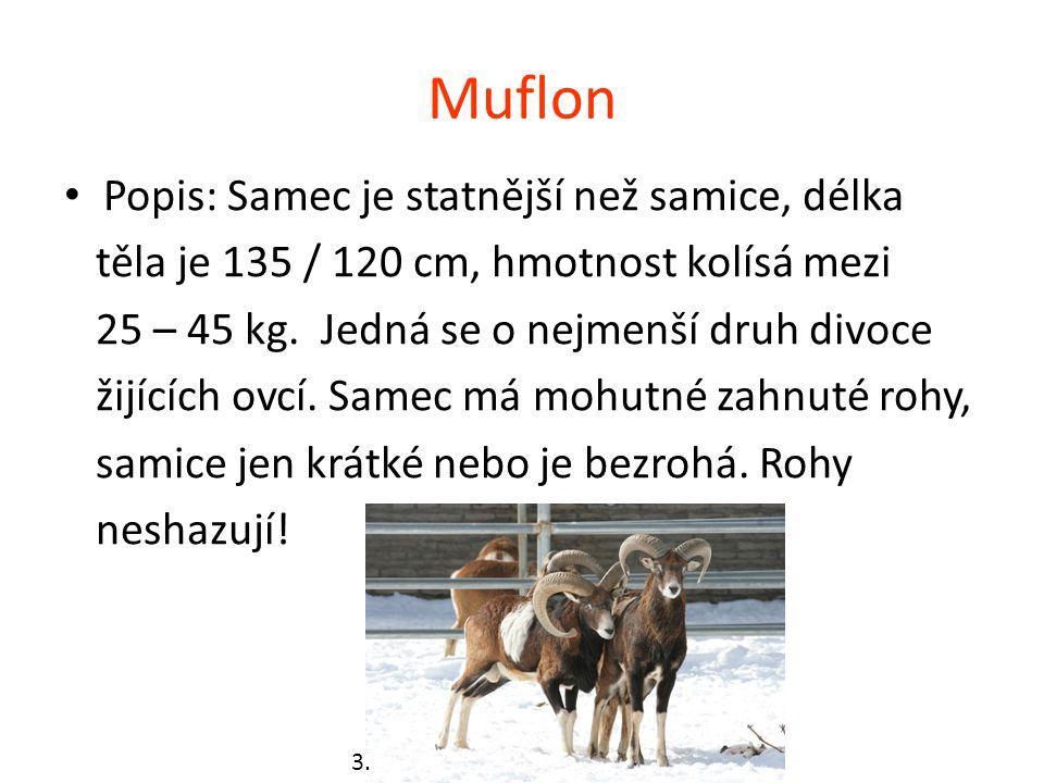 Muflon Popis: Samec je statnější než samice, délka