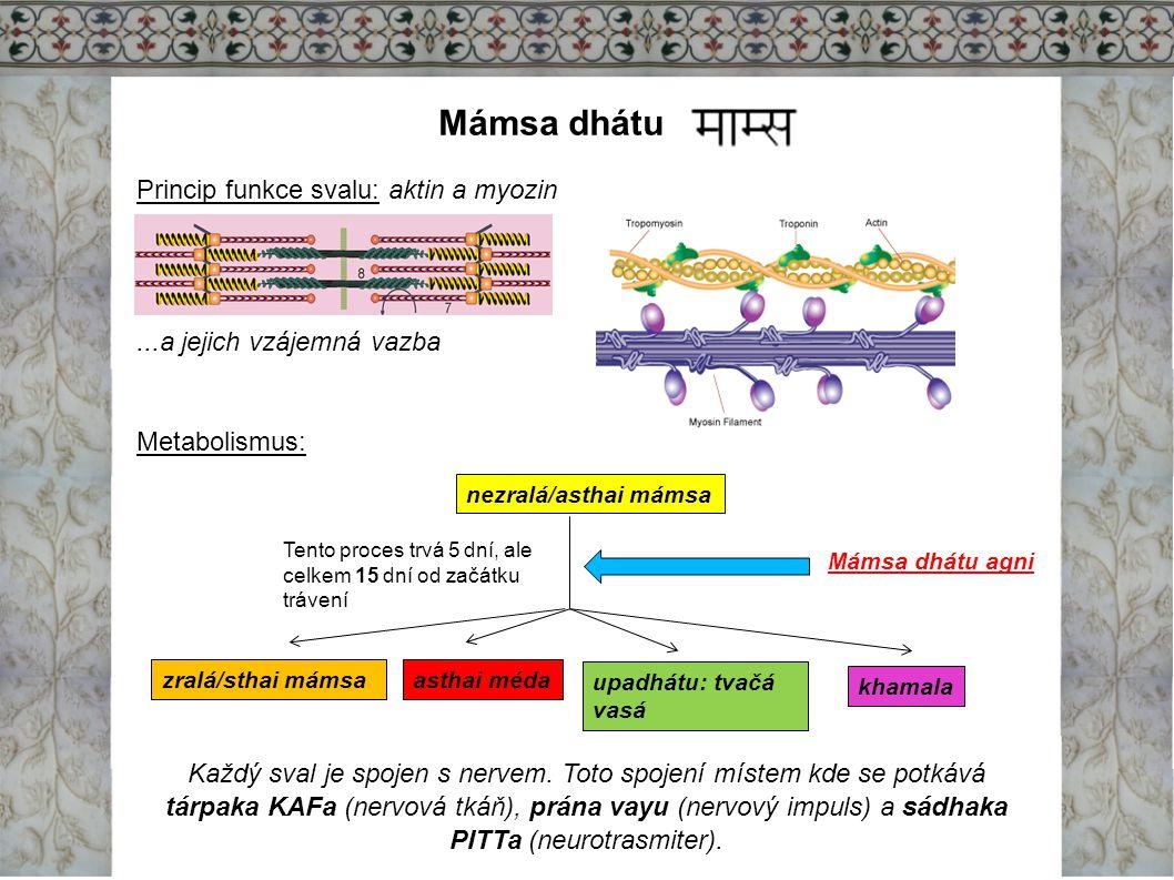 Mámsa dhátu Princip funkce svalu: aktin a myozin