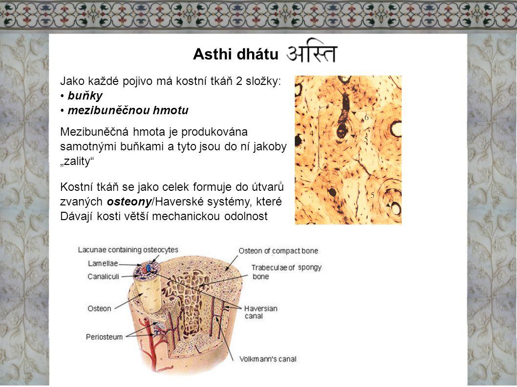 Asthi dhátu Jako každé pojivo má kostní tkáň 2 složky: buňky