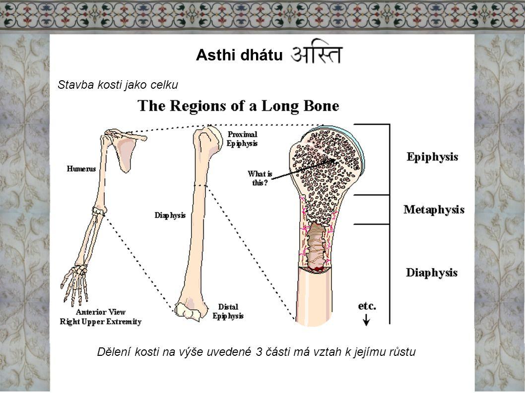Asthi dhátu Stavba kosti jako celku