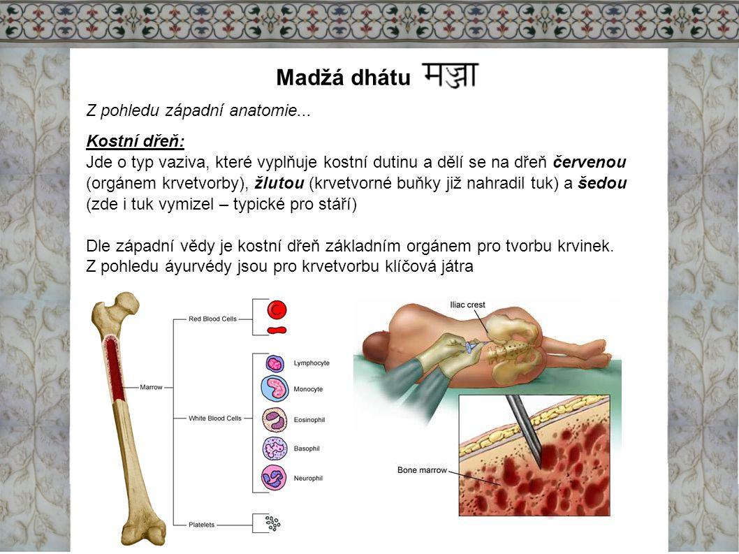 Madžá dhátu Z pohledu západní anatomie... Kostní dřeň: