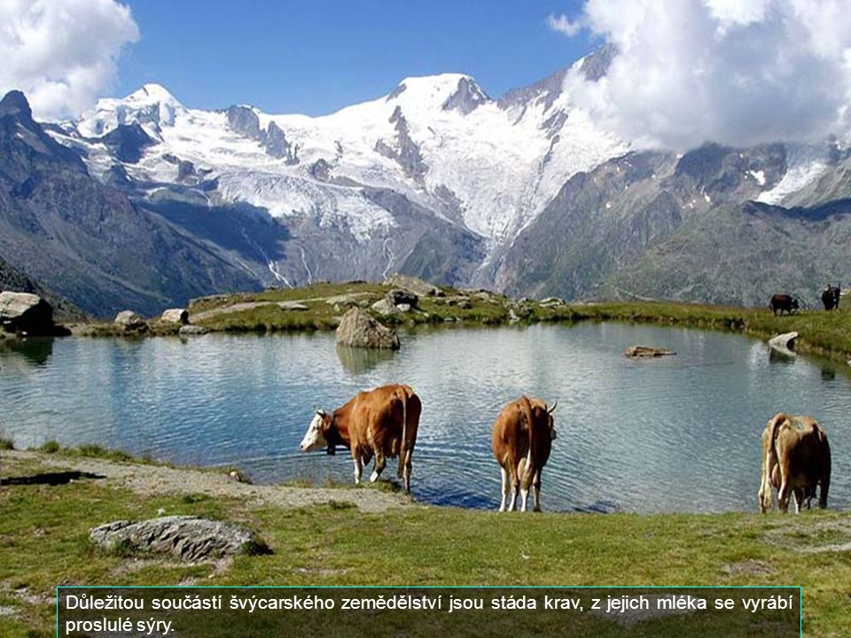 Důležitou součástí švýcarského zemědělství jsou stáda krav, z jejich mléka se vyrábí proslulé sýry.