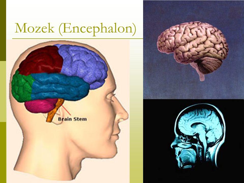 Mozek (Encephalon)