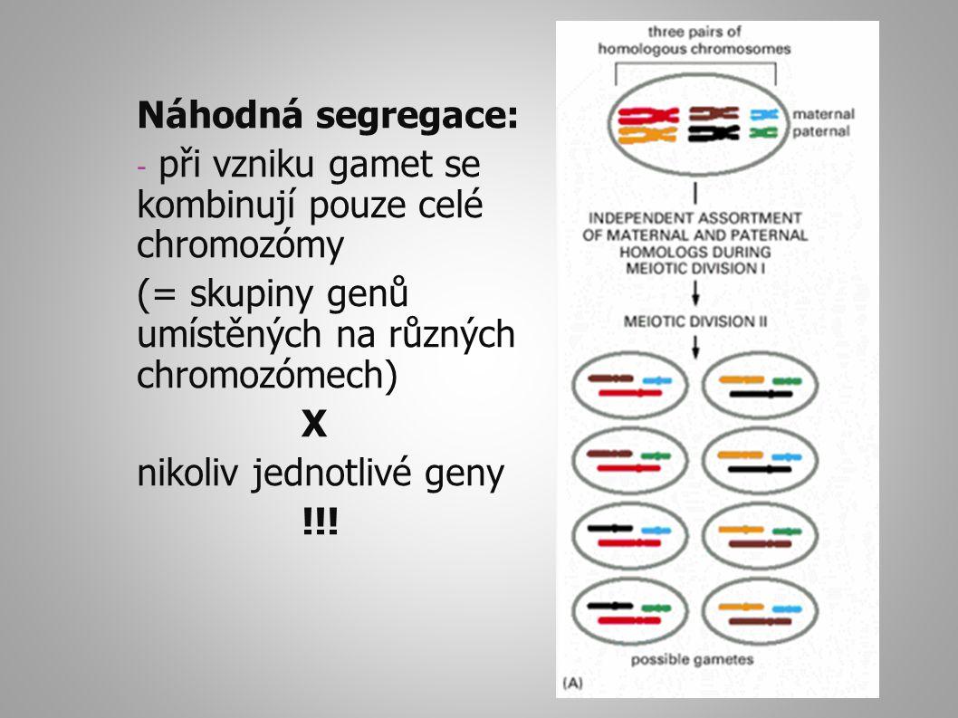 Náhodná segregace: při vzniku gamet se kombinují pouze celé chromozómy. (= skupiny genů umístěných na různých chromozómech)