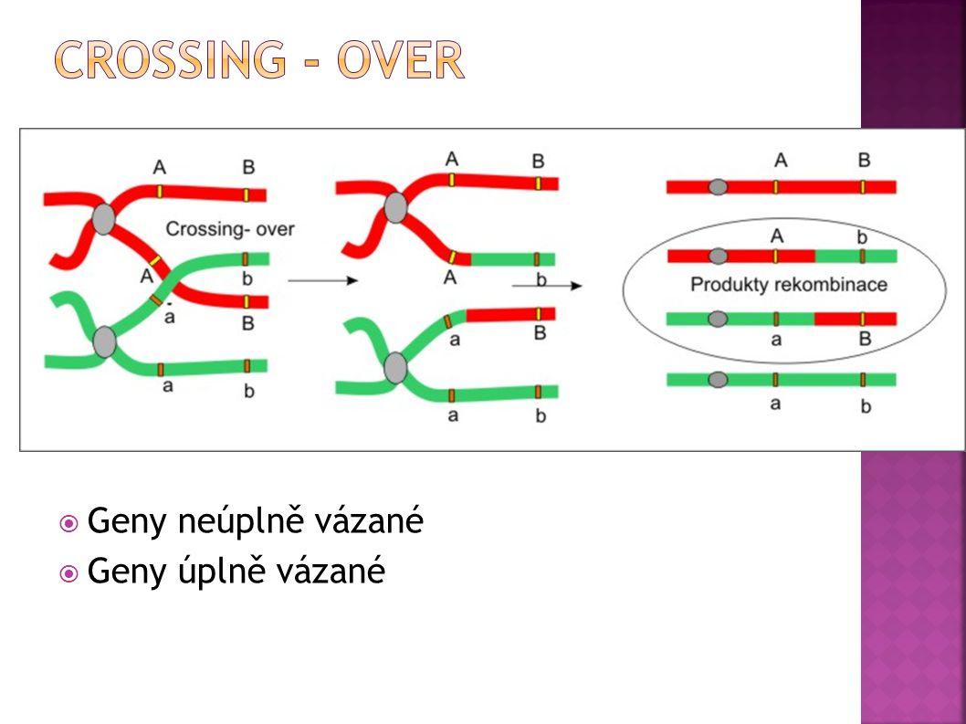 Crossing - over Geny neúplně vázané Geny úplně vázané