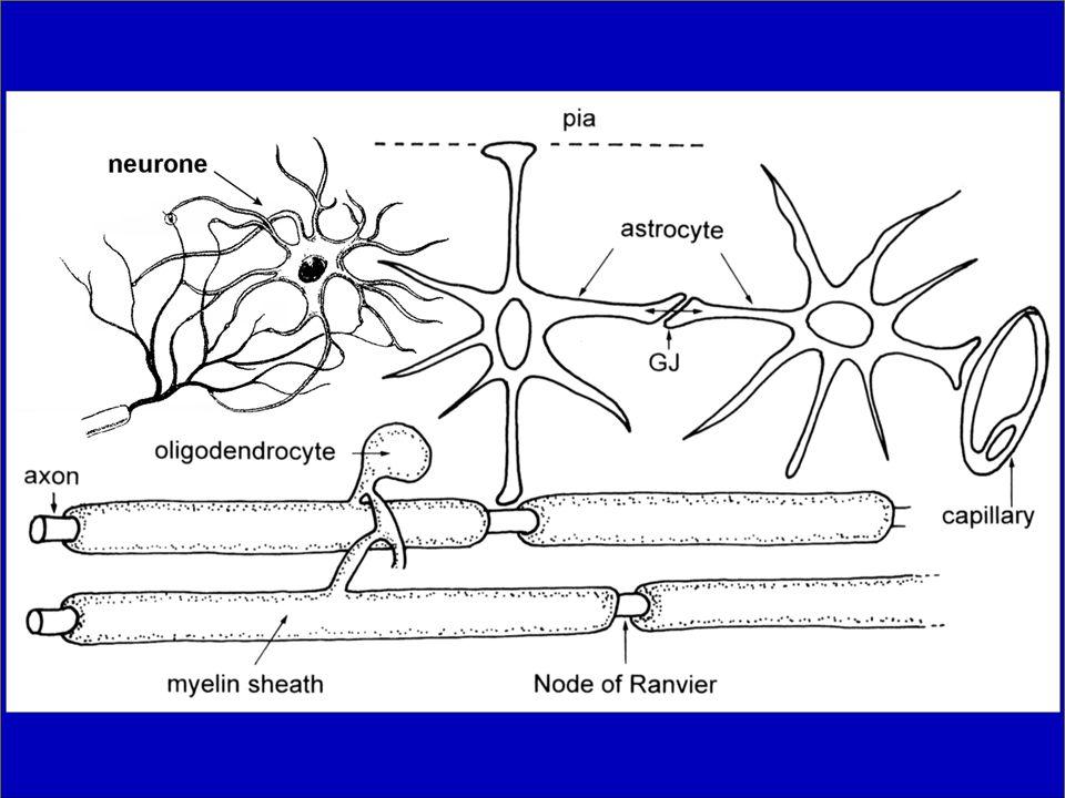 Následující slidy o funkcích gliových buněk jsou zaměřeny na funkce astrocytů a oligodendrocytů v cns.