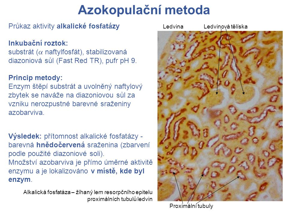 Azokopulační metoda Průkaz aktivity alkalické fosfatázy