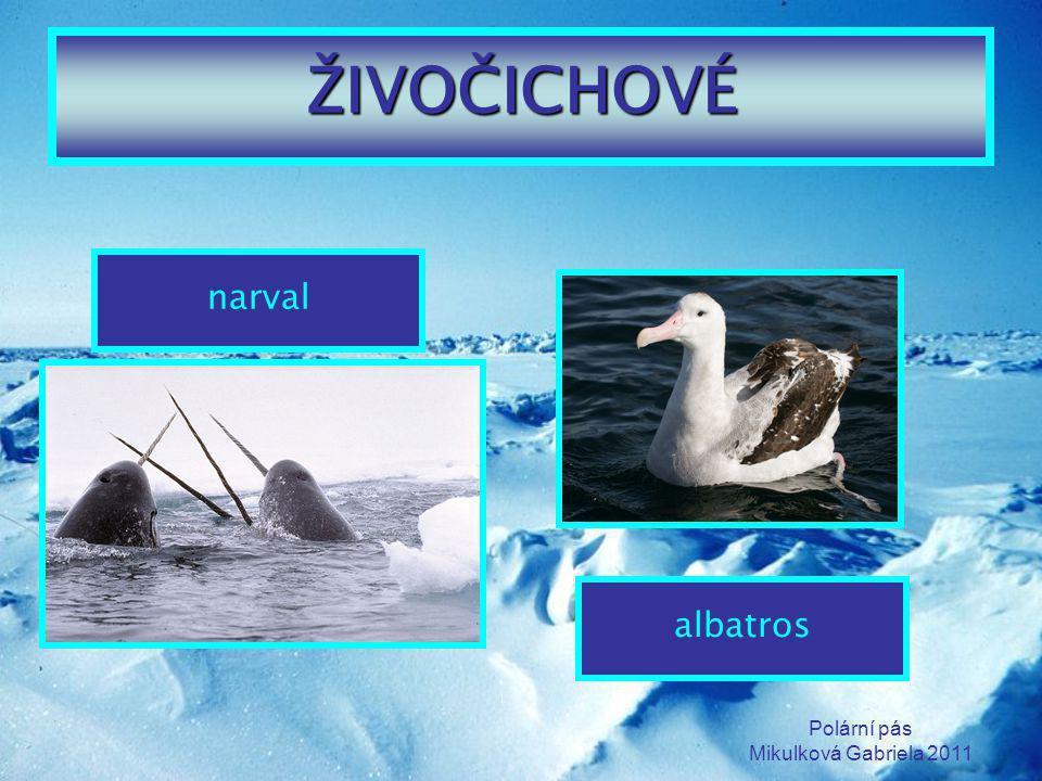 ŽIVOČICHOVÉ narval albatros Polární pás Mikulková Gabriela 2011