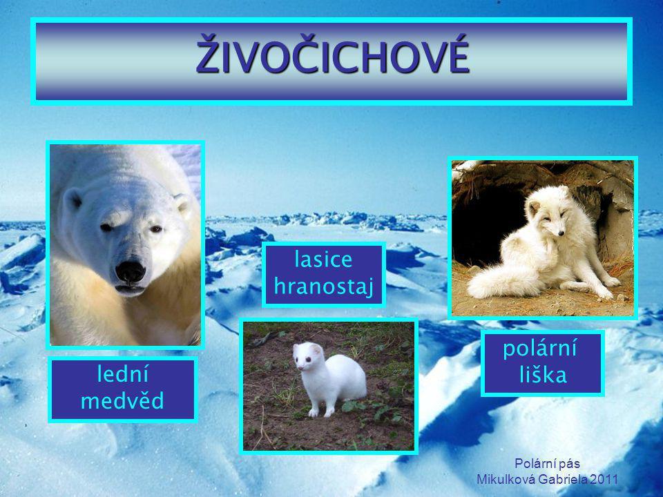 ŽIVOČICHOVÉ lasice hranostaj polární liška lední medvěd Polární pás