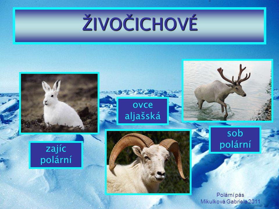 ŽIVOČICHOVÉ ovce aljašská sob polární zajíc polární Polární pás