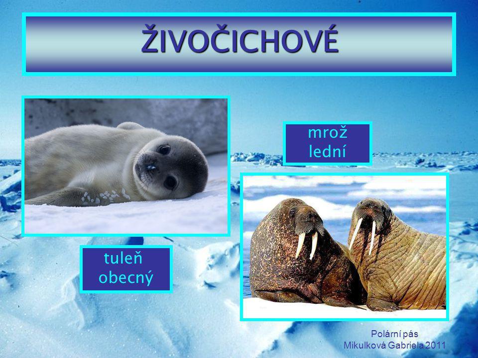 ŽIVOČICHOVÉ mrož lední tuleň obecný Polární pás