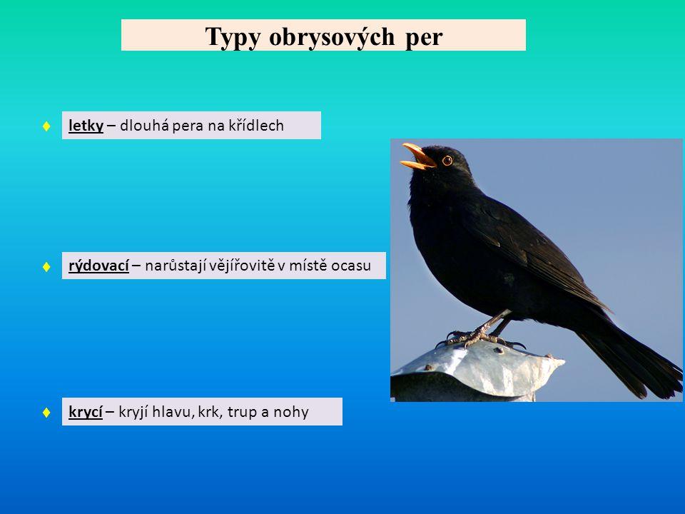 Typy obrysových per ♦ letky – dlouhá pera na křídlech ♦