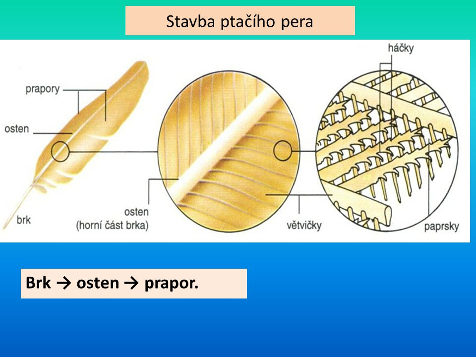 Stavba ptačího pera Brk → osten → prapor.
