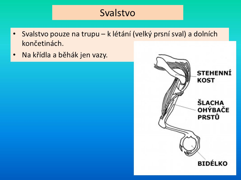 Svalstvo Svalstvo pouze na trupu – k létání (velký prsní sval) a dolních končetinách.