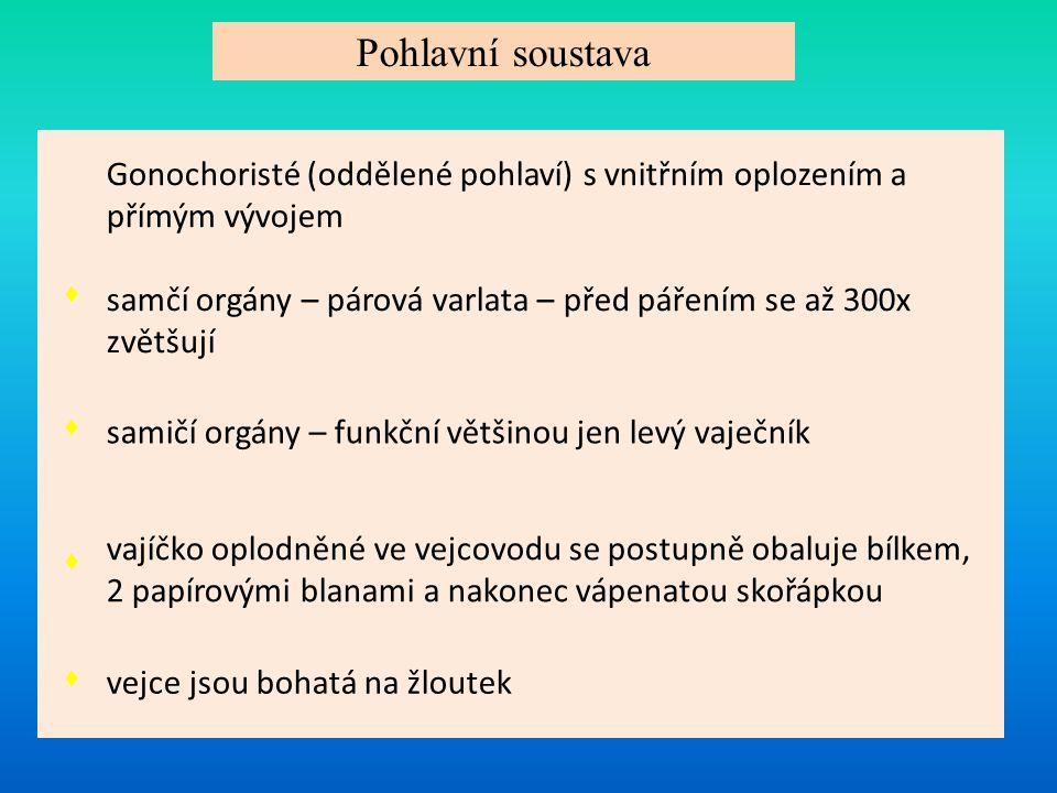 Pohlavní soustava Gonochoristé (oddělené pohlaví) s vnitřním oplozením a přímým vývojem. ♦