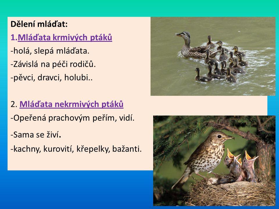 Dělení mláďat: Mláďata krmivých ptáků. holá, slepá mláďata. Závislá na péči rodičů. pěvci, dravci, holubi..
