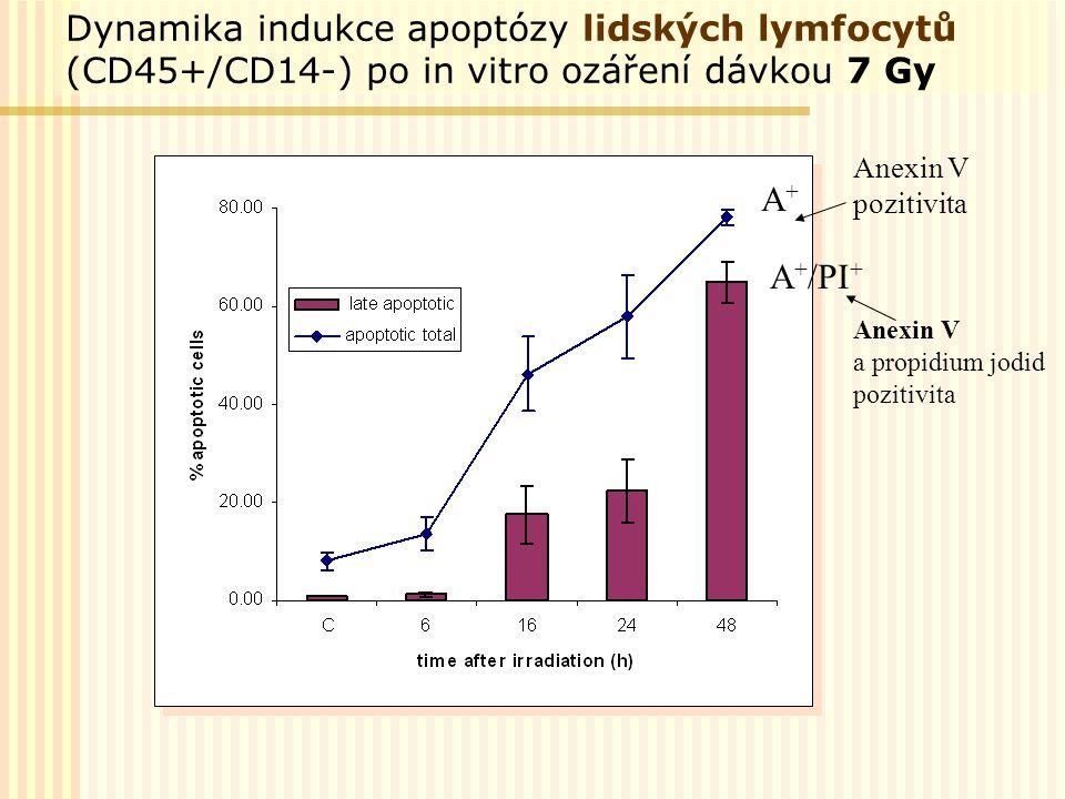 Dynamika indukce apoptózy lidských lymfocytů (CD45+/CD14-) po in vitro ozáření dávkou 7 Gy