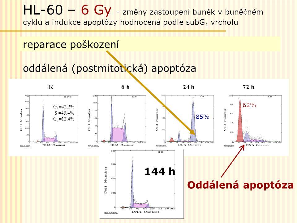 HL-60 – 6 Gy - změny zastoupení buněk v buněčném cyklu a indukce apoptózy hodnocená podle subG1 vrcholu reparace poškození oddálená (postmitotická) apoptóza
