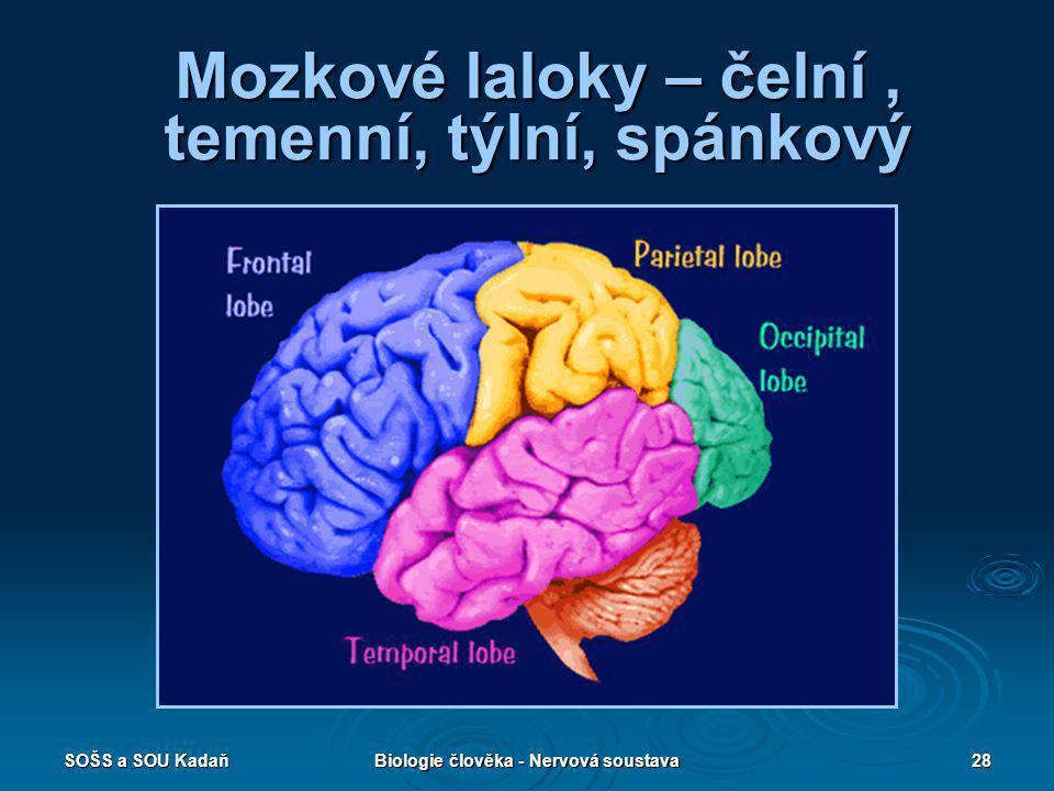Mozkové laloky – čelní , temenní, týlní, spánkový