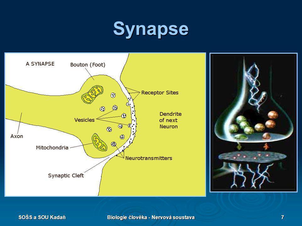 Biologie člověka - Nervová soustava
