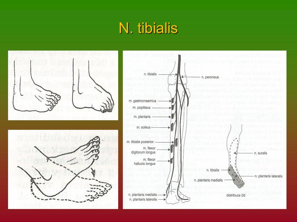 N. tibialis