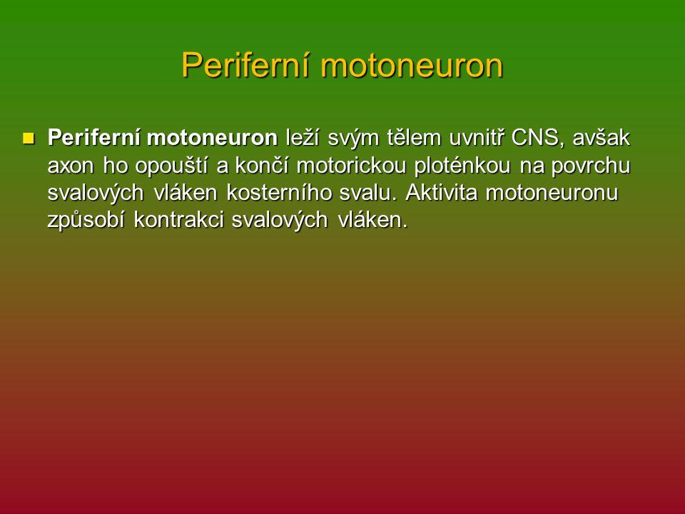Periferní motoneuron