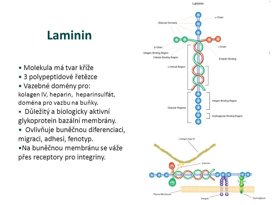 Laminin Molekula má tvar kříže 3 polypeptidové řetězce