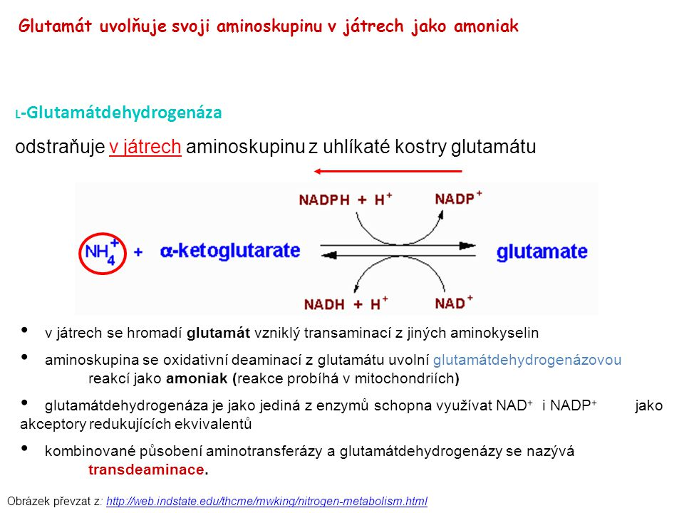 odstraňuje v játrech aminoskupinu z uhlíkaté kostry glutamátu