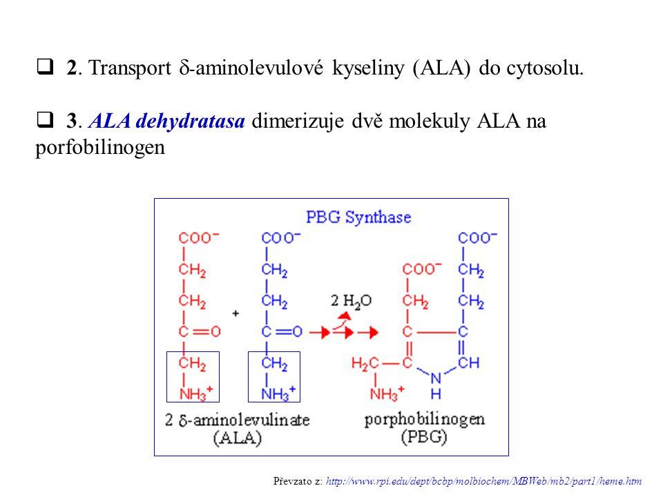2. Transport d-aminolevulové kyseliny (ALA) do cytosolu.