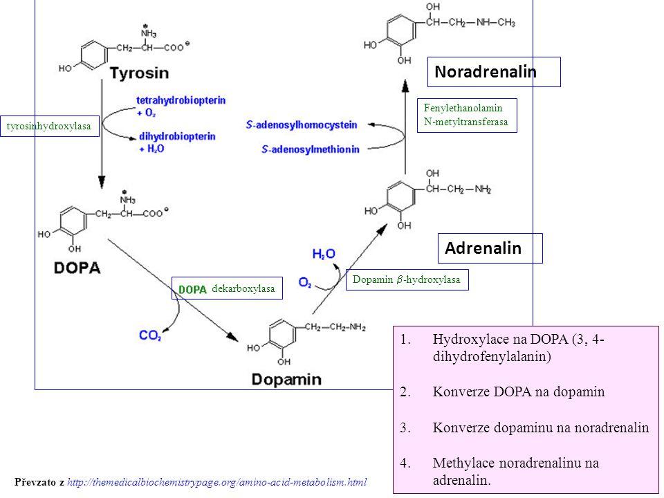 Noradrenalin Adrenalin Hydroxylace na DOPA (3, 4-dihydrofenylalanin)